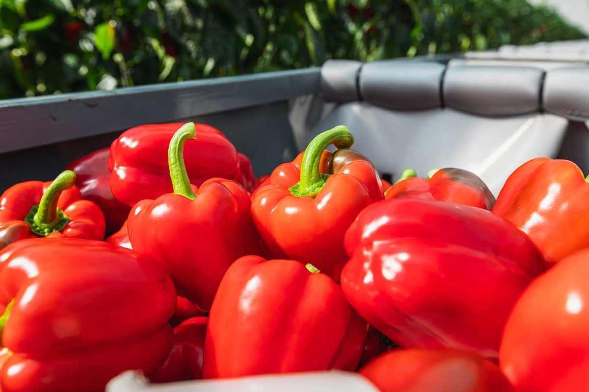 Groente Branche Paprika