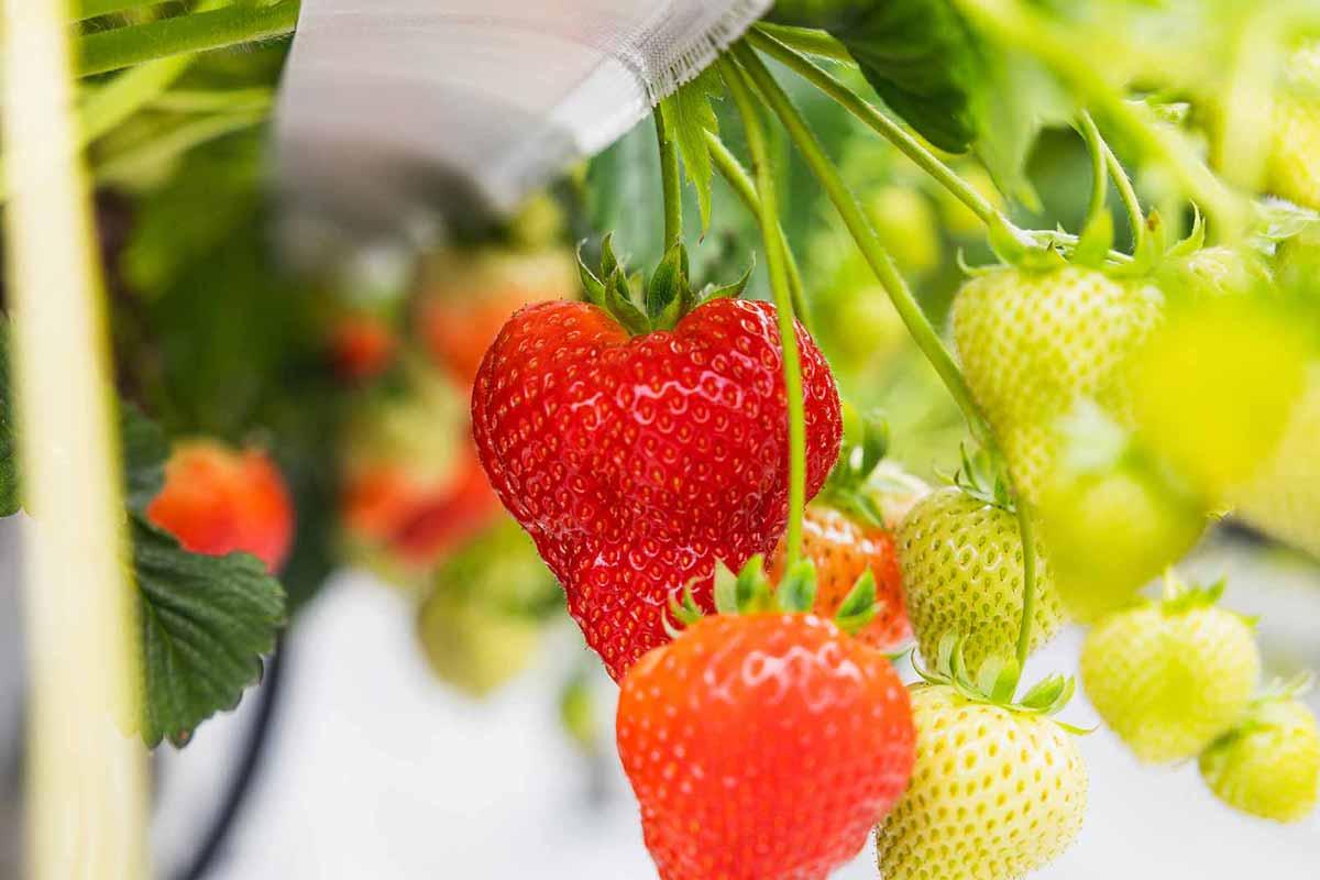 Zachtfruit branche aardbeien
