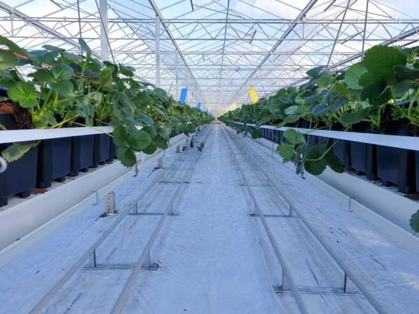 Medlar Fruit Farms Strawberry Gutter system