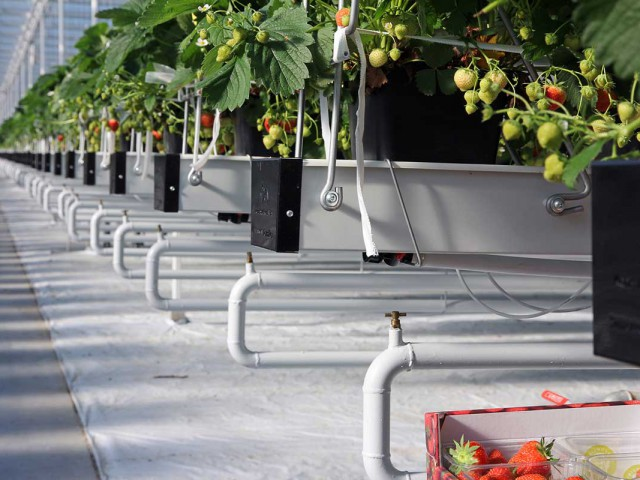 Cultivation Gutter system Strawberry 1