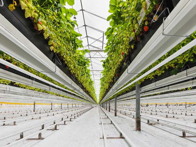 Cultivation Gutter system Strawberry 3