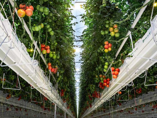 Cultivation Gutter system Tomato 2