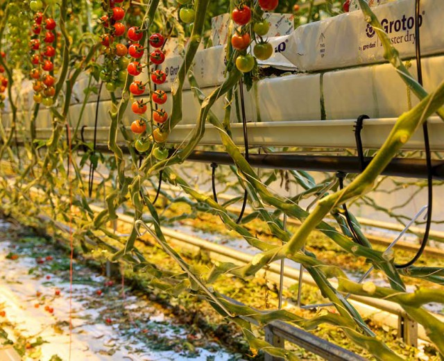 Crop Support Tomatoes 3