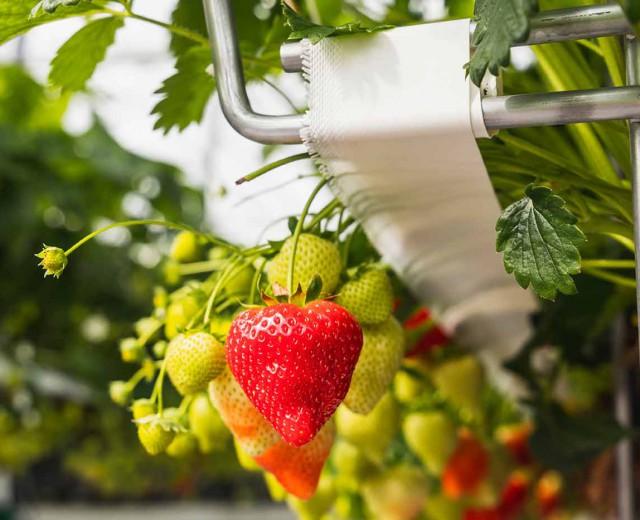 Crop support Strawberry