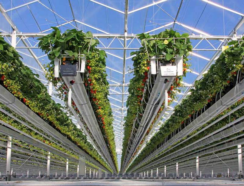 Cultivation Gutter system Strawberry 2